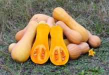 Growing Butternut Squash.
