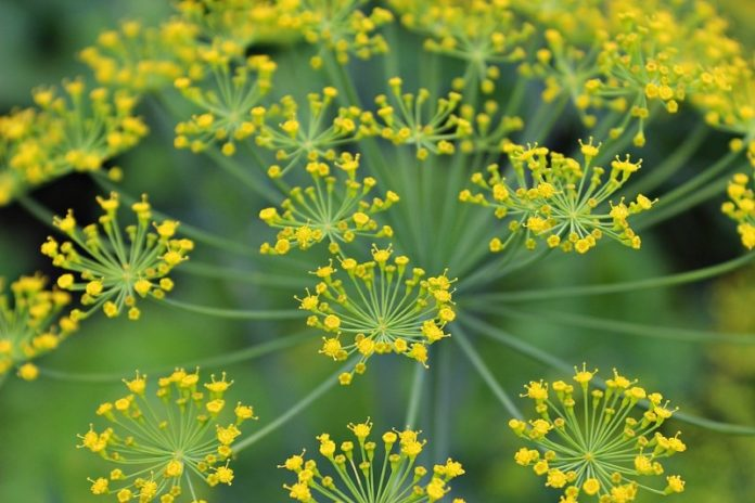 Growing Dill Hydroponically.