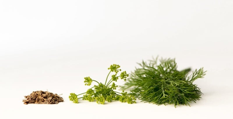 How to Harvest Hydroponic Dill Seeds.