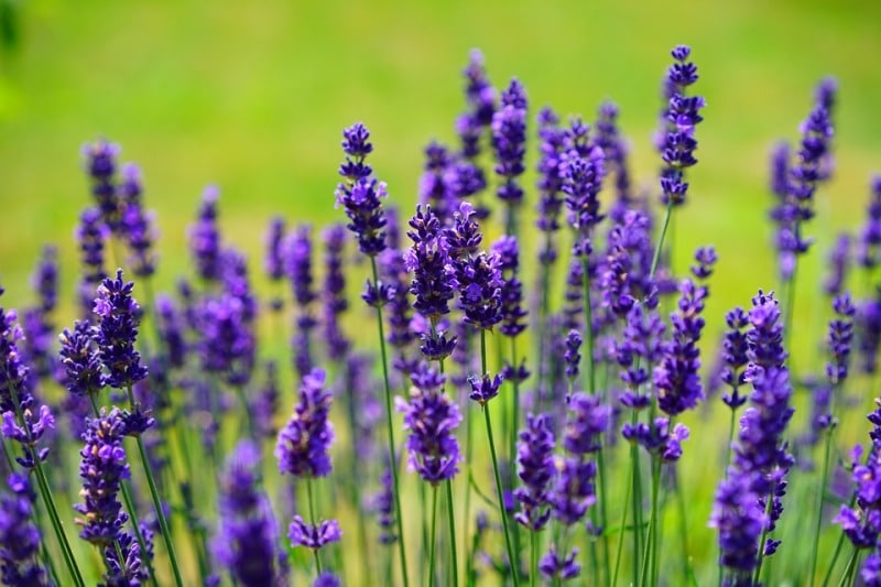 Requirements for Hydroponic Lavender.