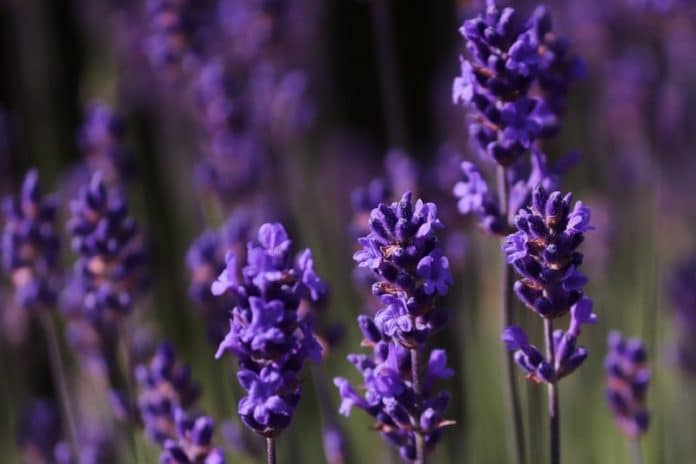 Growing Lavender Hydroponically A Full Guide Gardening Tips