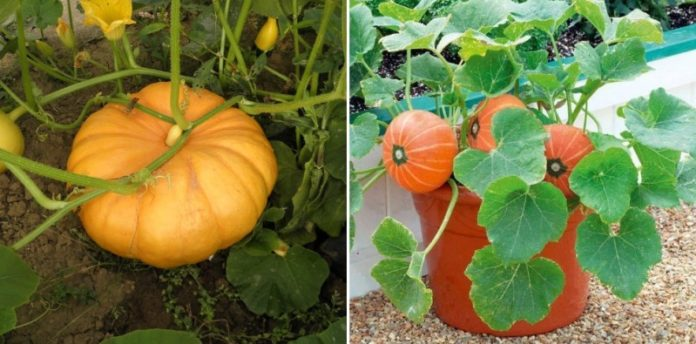 Growing Pumpkins from Seeds.