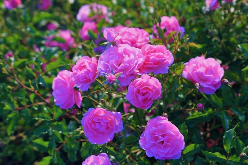 Pink Roses for Hydroponics.