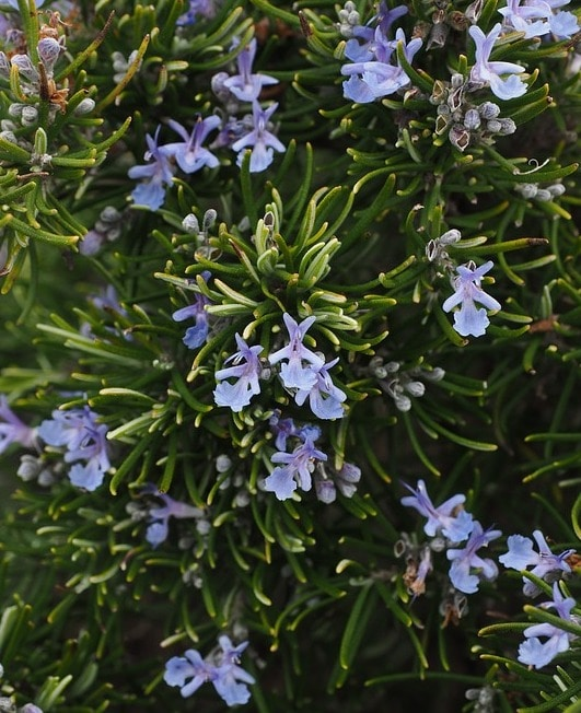 Rosemary Blooms.