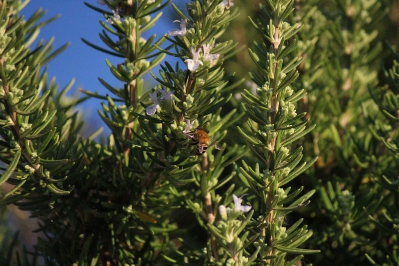 Growing Conditions for Rosemary.