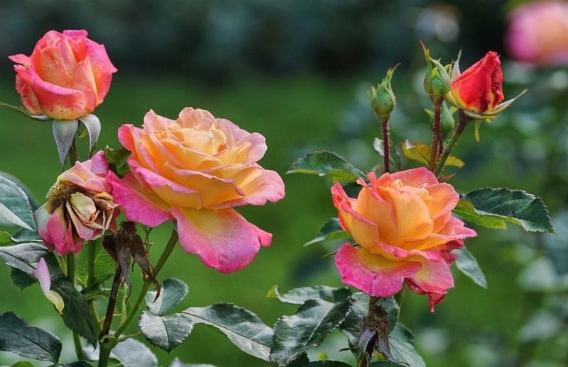 Rose Plants in Hydroponics.