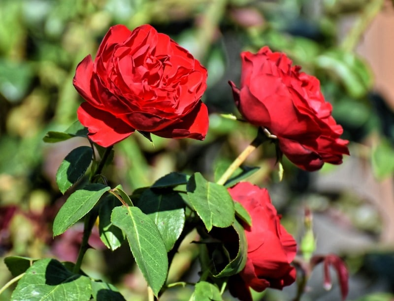 Nutrients Required for Hydroponic Roses.