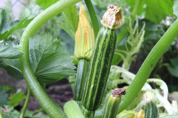 Zucchini Planting from Seed.