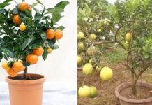Growing Orange in Pots from Seed.