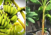 Growing Banana in Containers.