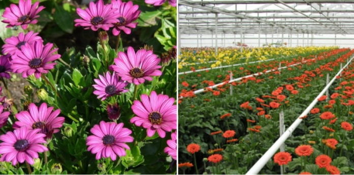 Growing Hydroponic Gerbera Daisy A Full Guide Gardening Tips