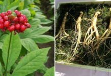 Growing Hydroponic Ginseng Herb.