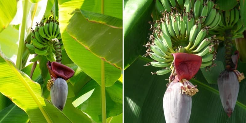Requirements for Growing Banana.