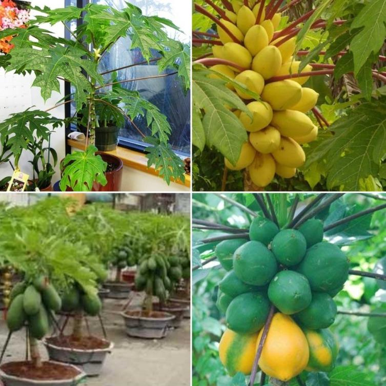 Requirement for Growing Dwarf Papapya at Home.