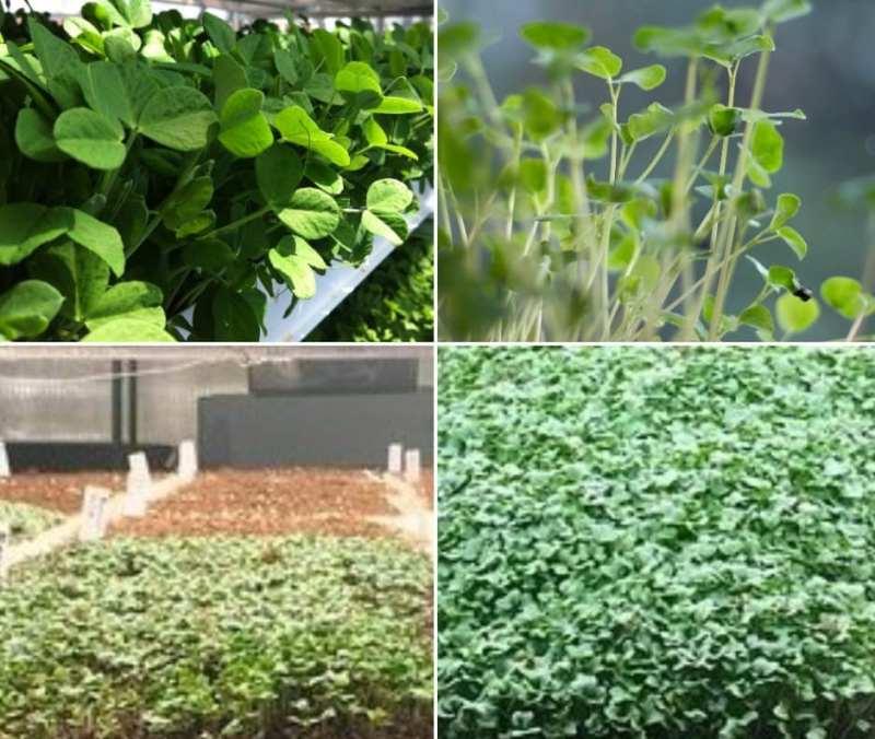 Hydroponic Microgreens Farming.