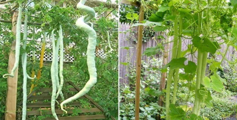 Growing Snake Gourd from Seed.