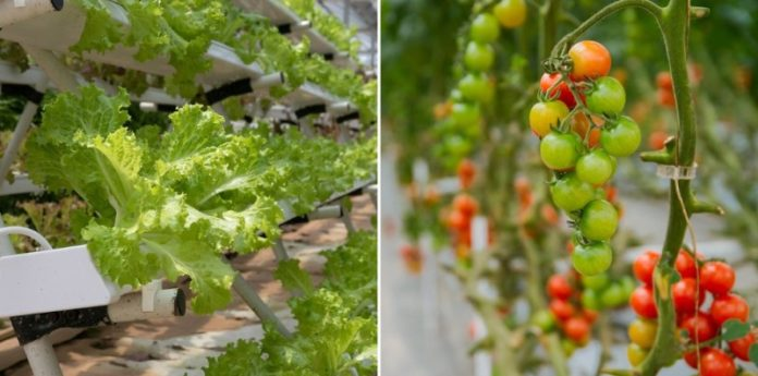 Most Profitable Hydroponic Crops,