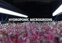 Growing Hydroponic Microgreens Guide.