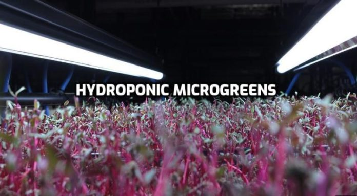 Growing Hydroponic Microgreens Guide.