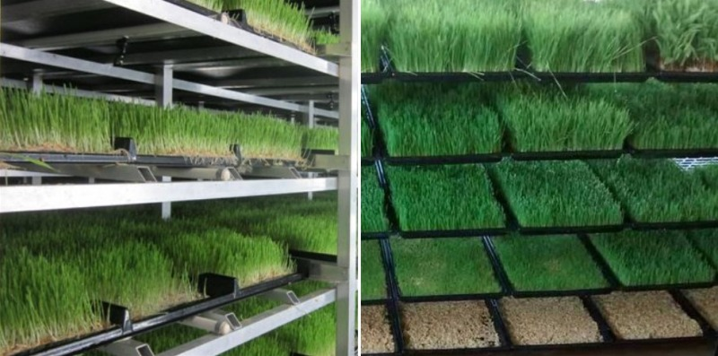 Hydroponic Fodder in Trays.
