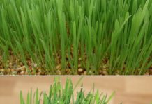 Growing Wheatgrass in Hydroponics.