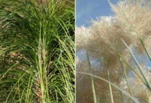 Growing Ornamental Grasses.