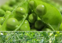 How to Grow Green Peas at Home.