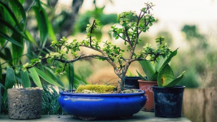 Bonsai Tree Types.