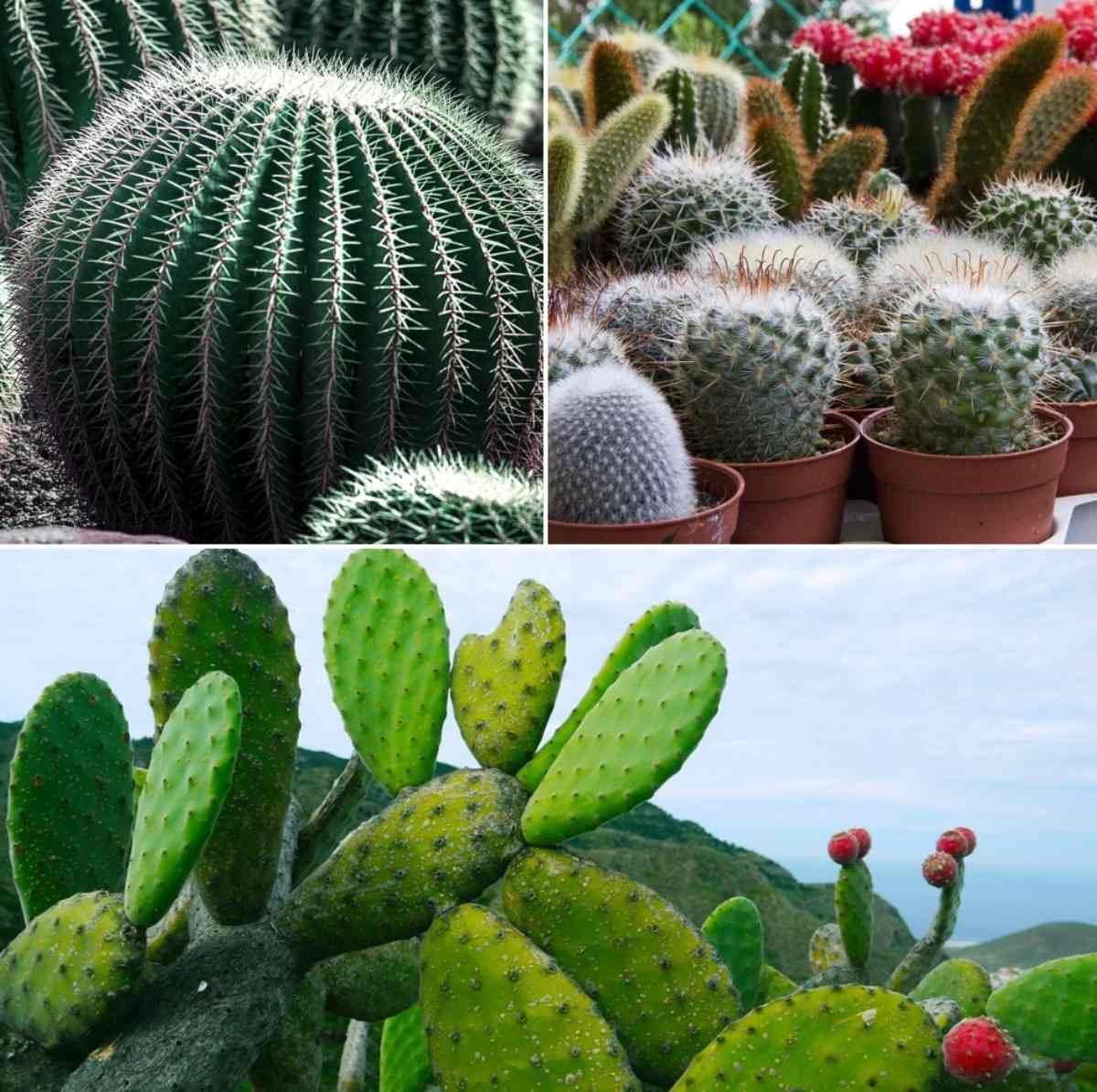 Growing Tips for Cactus.