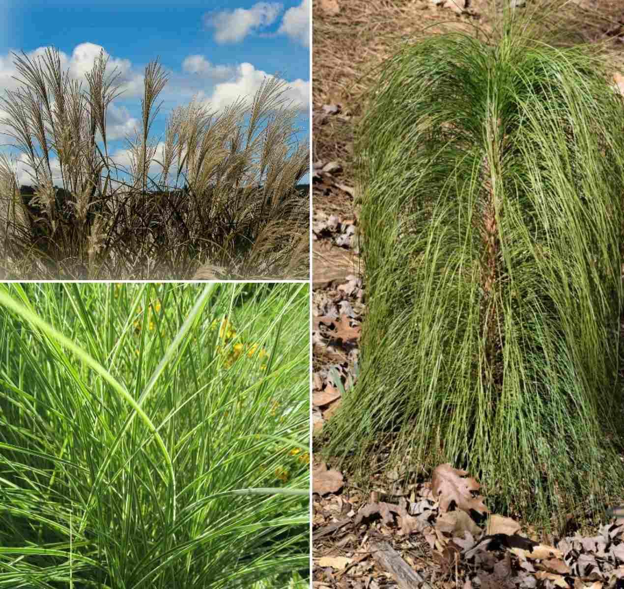 Diiferent Types of Ornamental Grasses.