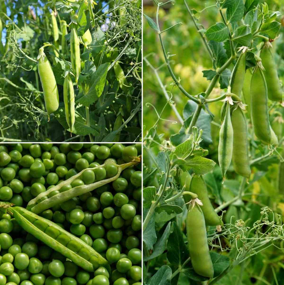 Growing Garden Peas: How To Grow Green Peas From Seeds (Matar) At Home