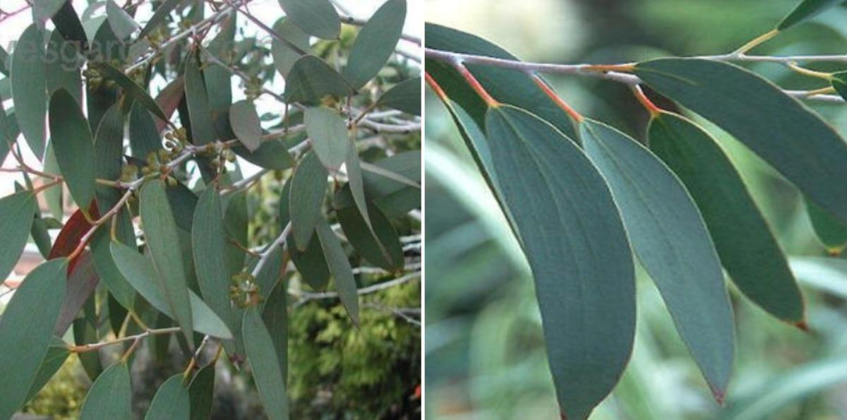 How To Grow Eucalyptus At Home.