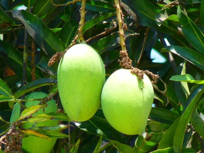 Growing Mango Tree in Containers.