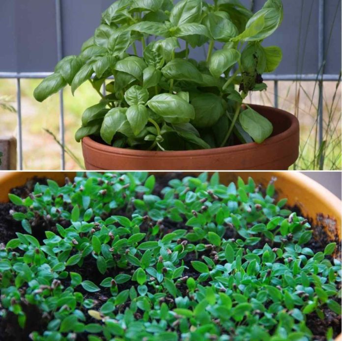 Container Gardening for Herbs.
