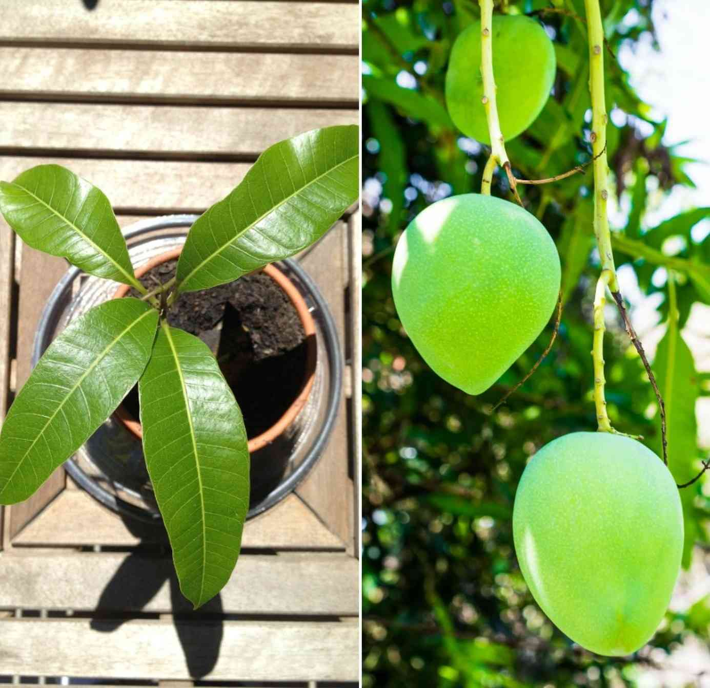 Pot Requirements for Growing Mango Tree.