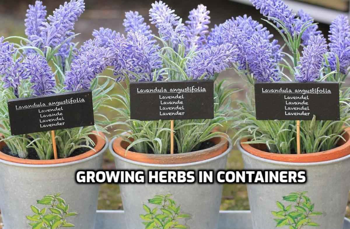 Growing Lavender in Containers.