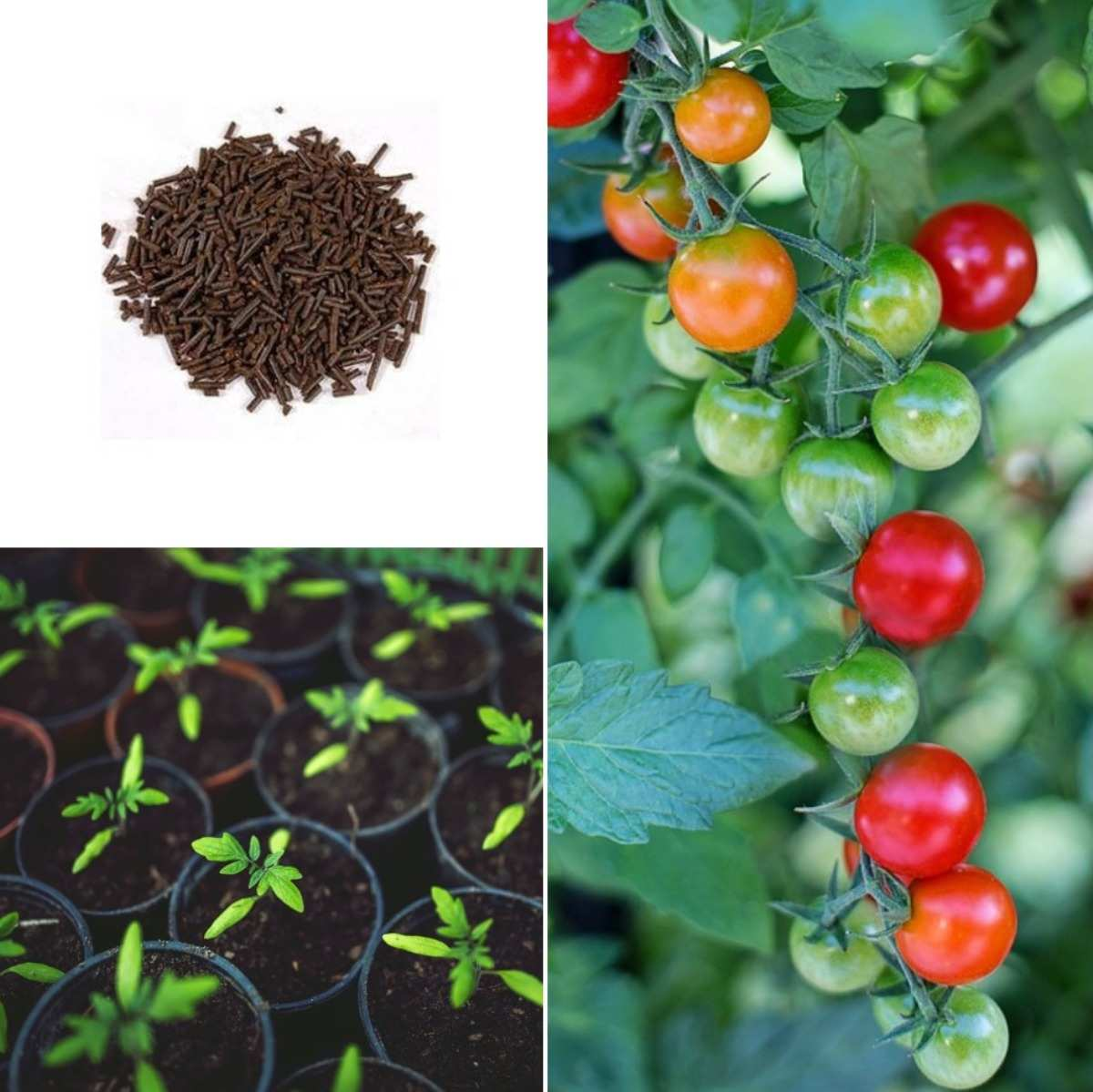 Advantages of Organic Tomato Fertilizer.