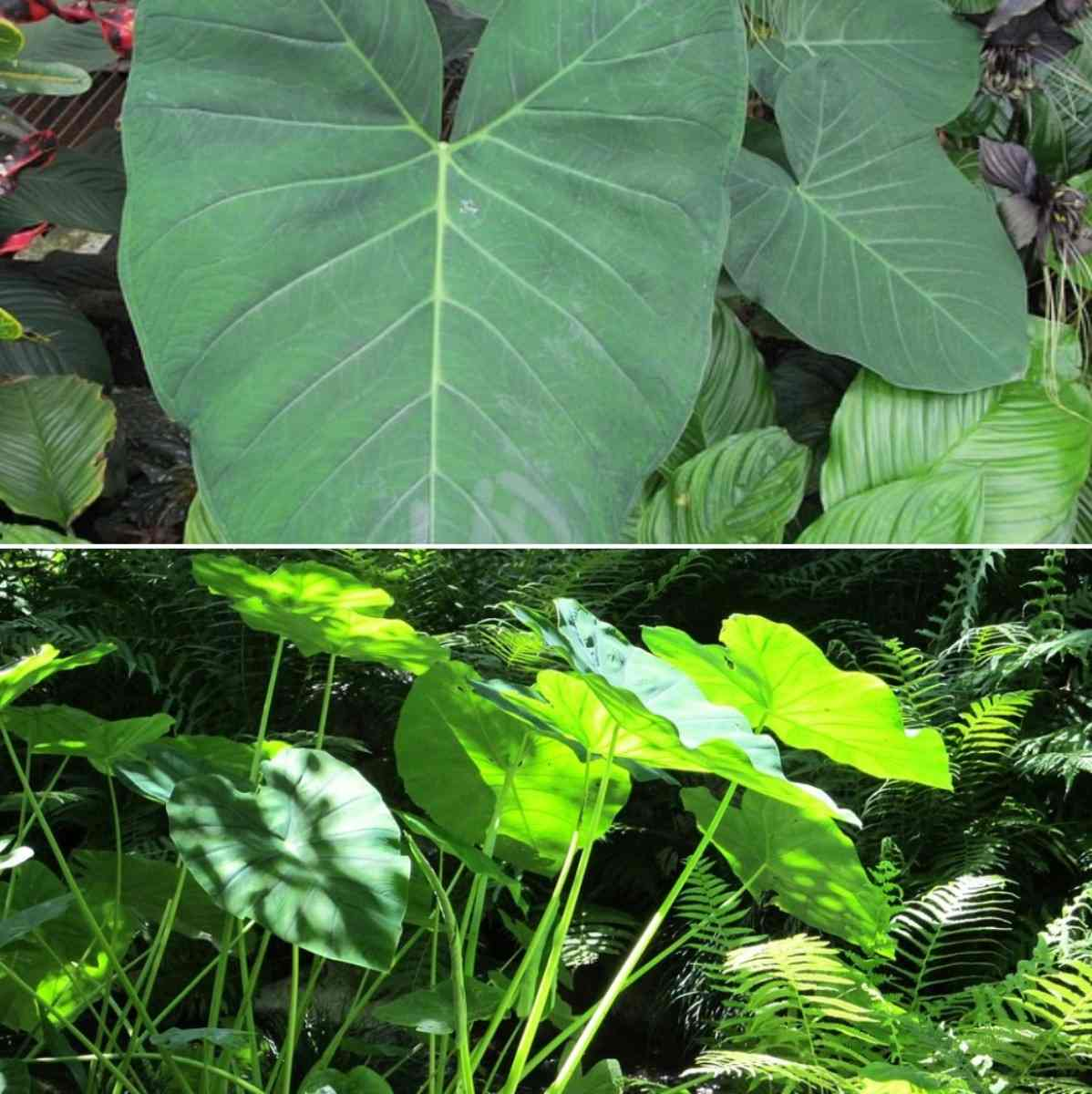 List of Bigleaf Plants.