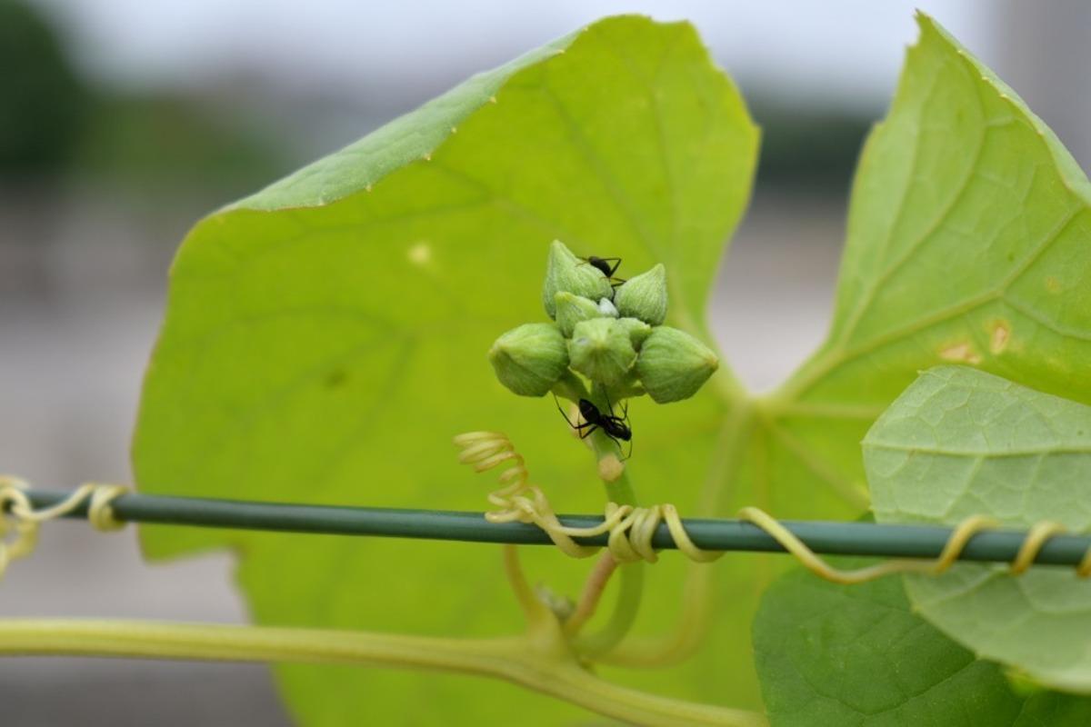 Ants on Ridge Gourd Buds,