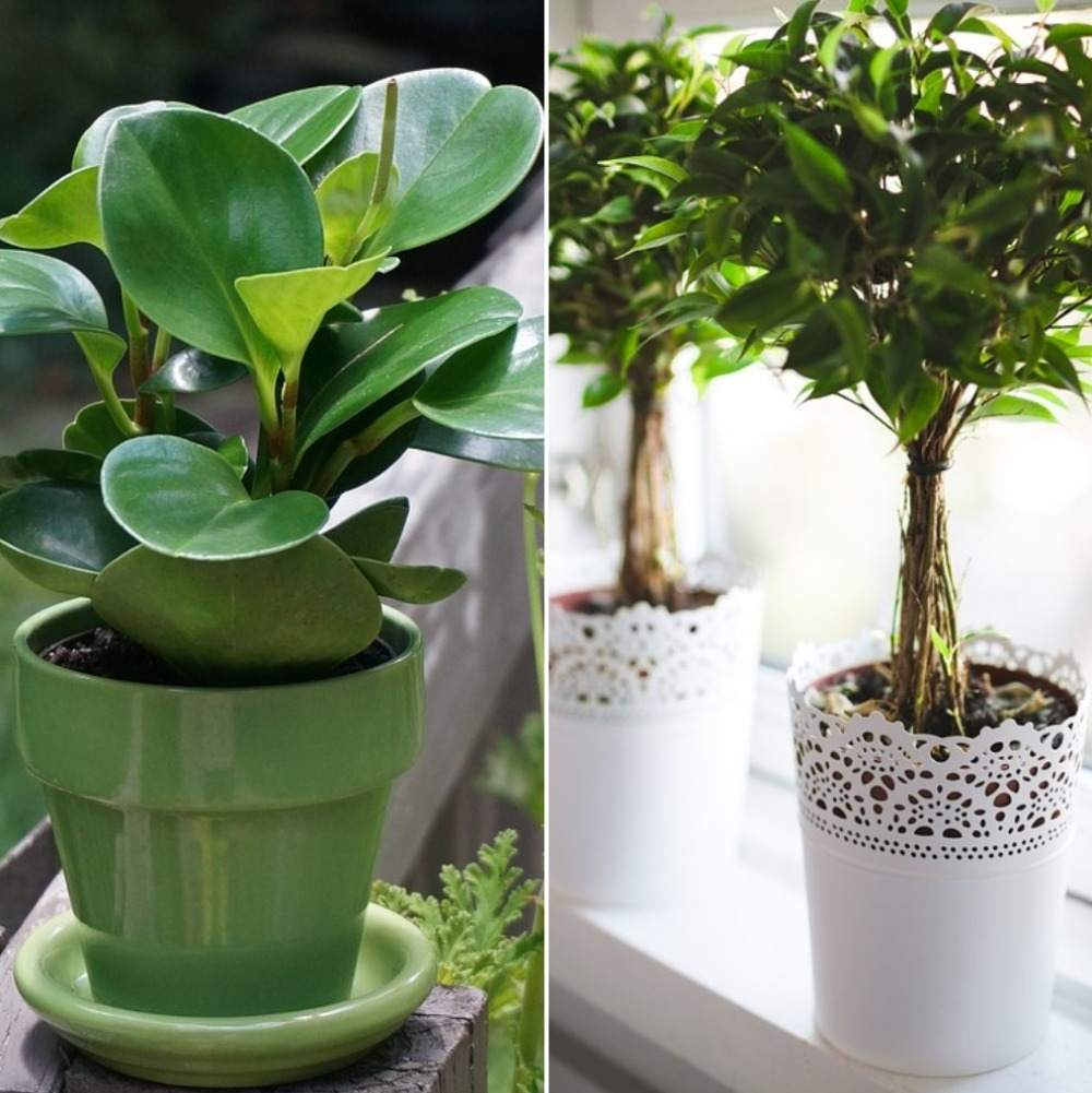 Vastu Rules for Indoor Planting.