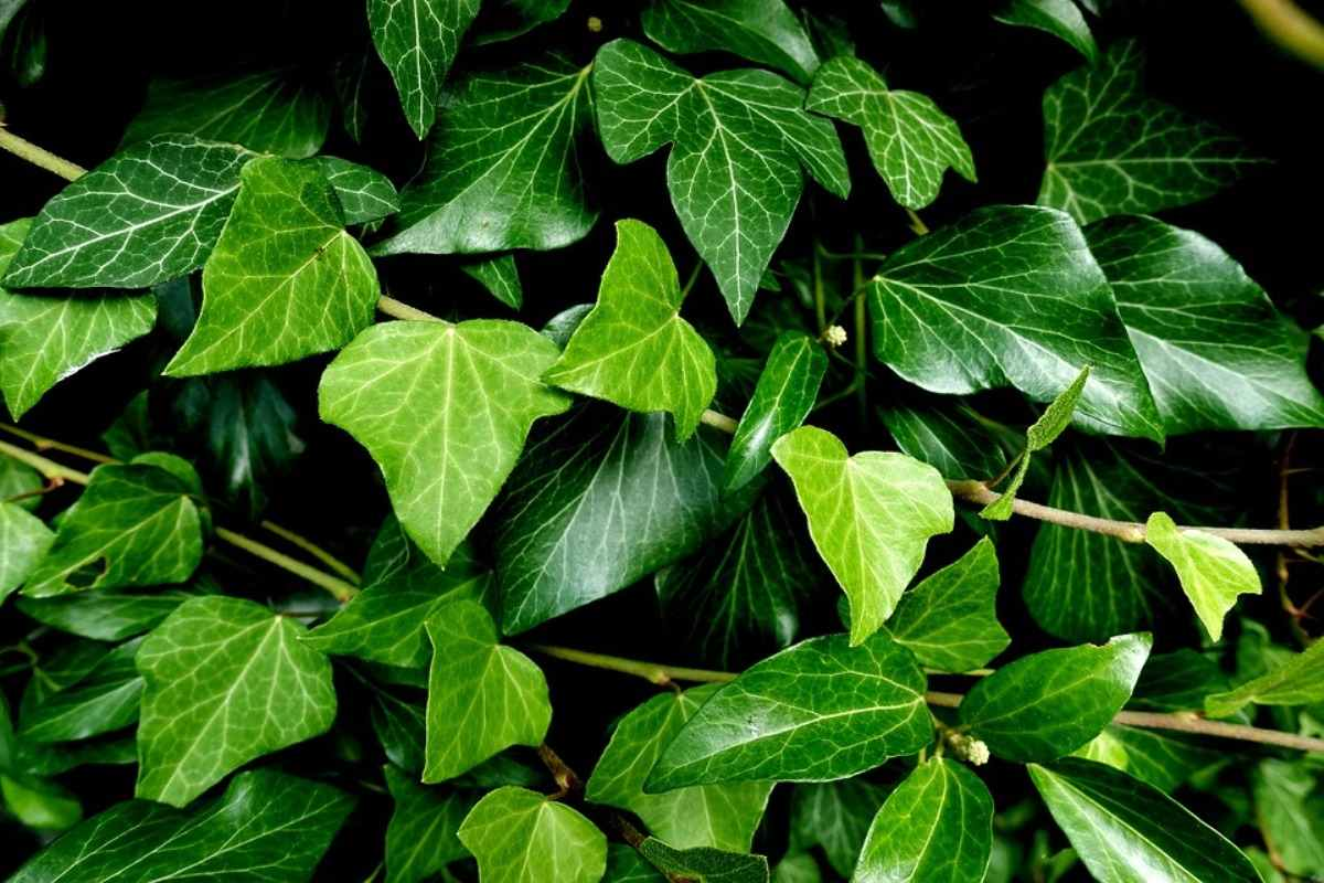 Ivy Creeper Plants Care.