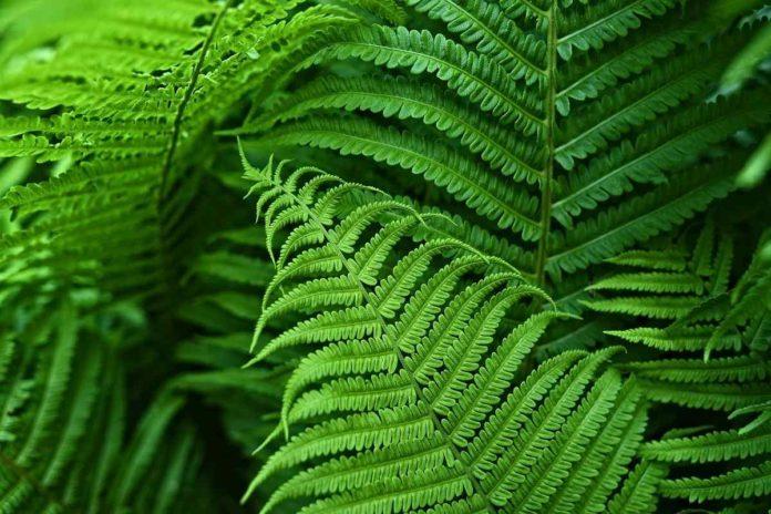 Growing Indoor Ferns.
