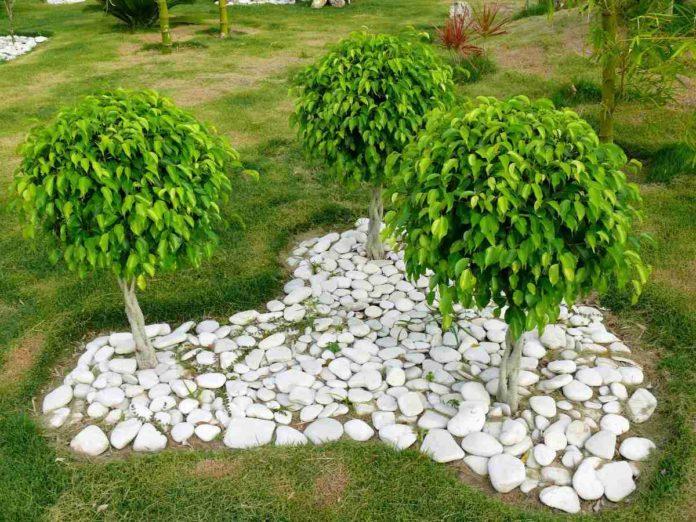 Growing Indoor Ficus.