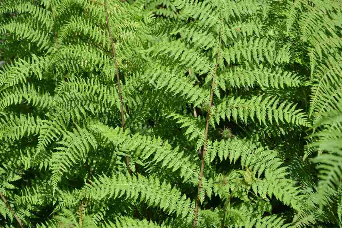 Groiwng Conditions for Ferns.