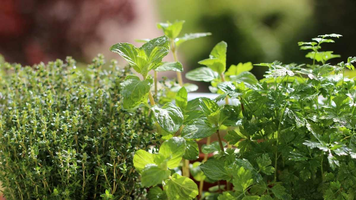 Indoor Herbs.