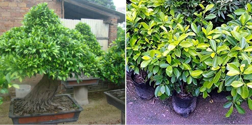 A Guide for Growing Ficus Indoors.