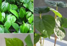 Growing Betel Leaf in Pots.