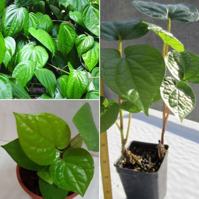 Growing Betel Leaf in Pots.