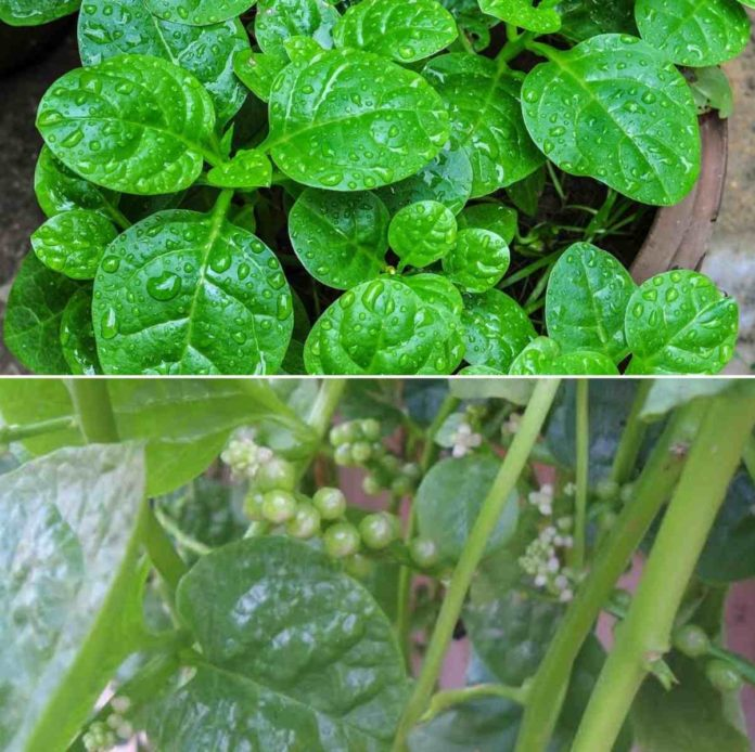 Growing Malabar Spinach on Terrace.