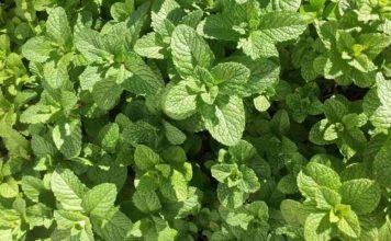 Growing Mint in Aquaponics.